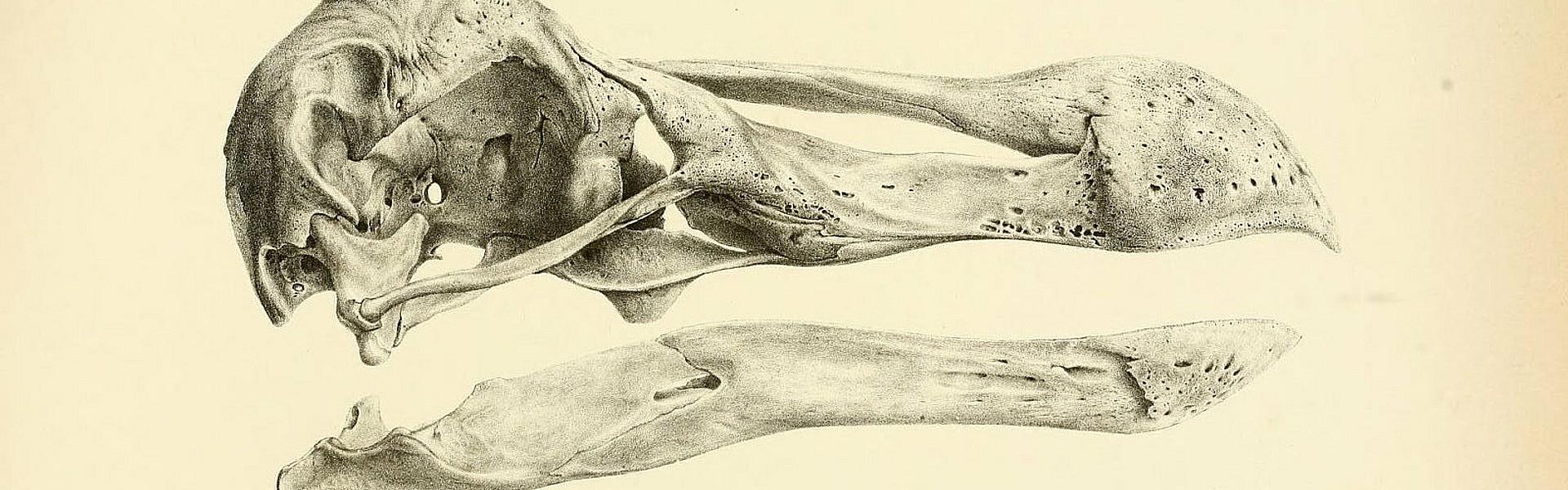 Dodo schedel, Biodiversity Heritage Library op flickr