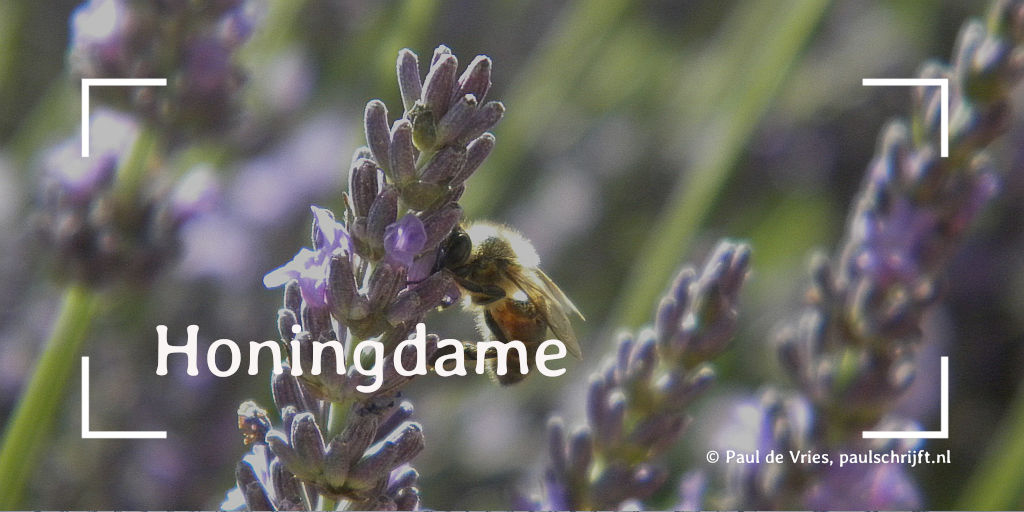 Een honingbij op Lavendel in de Provence, foto door Ecco. Bij het versje Honingdame van Paul Schijft