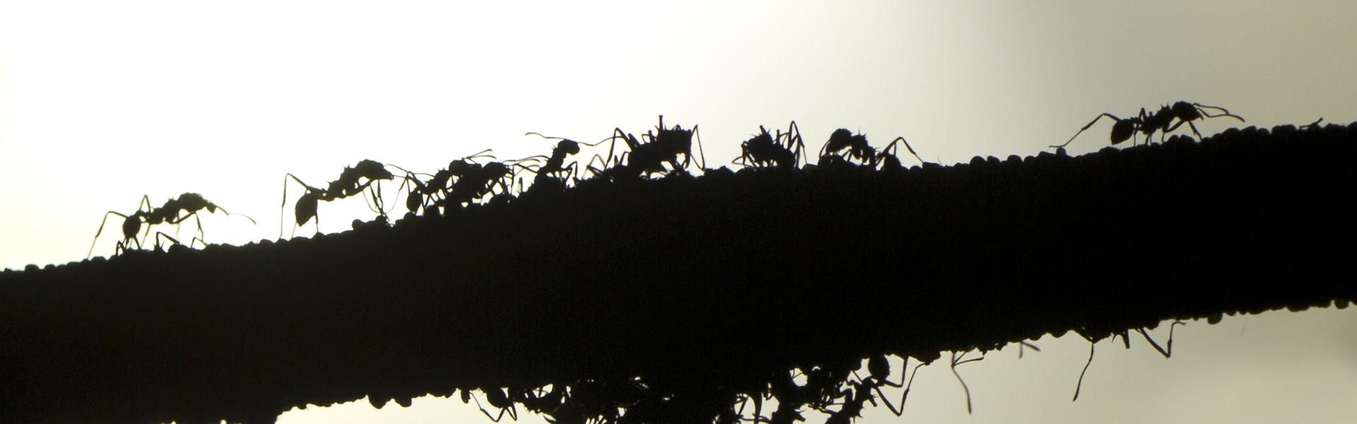 Mieren foto Sami op flicr