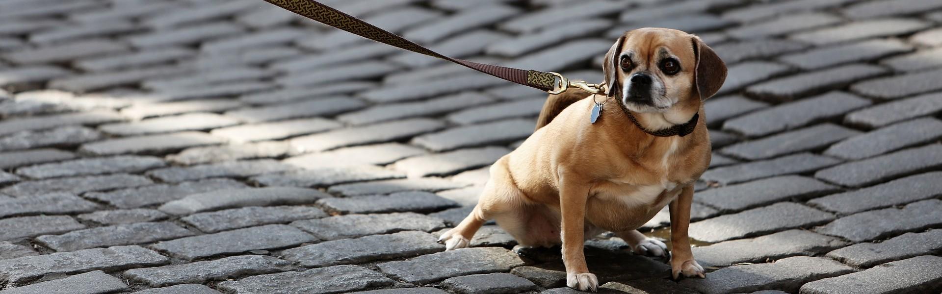 Onzichtbaar hond dog-926785 StockSnap pixabay