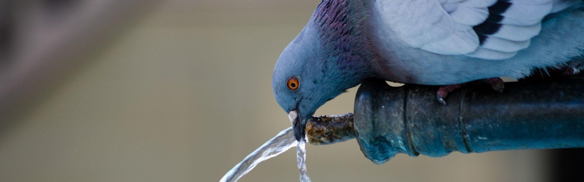 Duif die water drinkt bij het versje 'Stuntduif' van Paul Schrijft