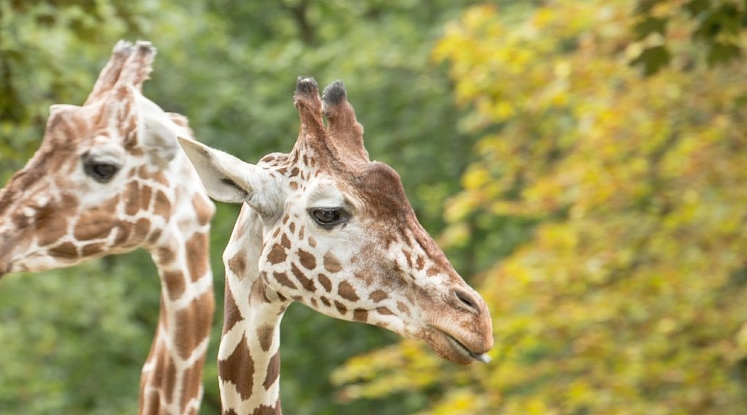 Twee spelende giraffen