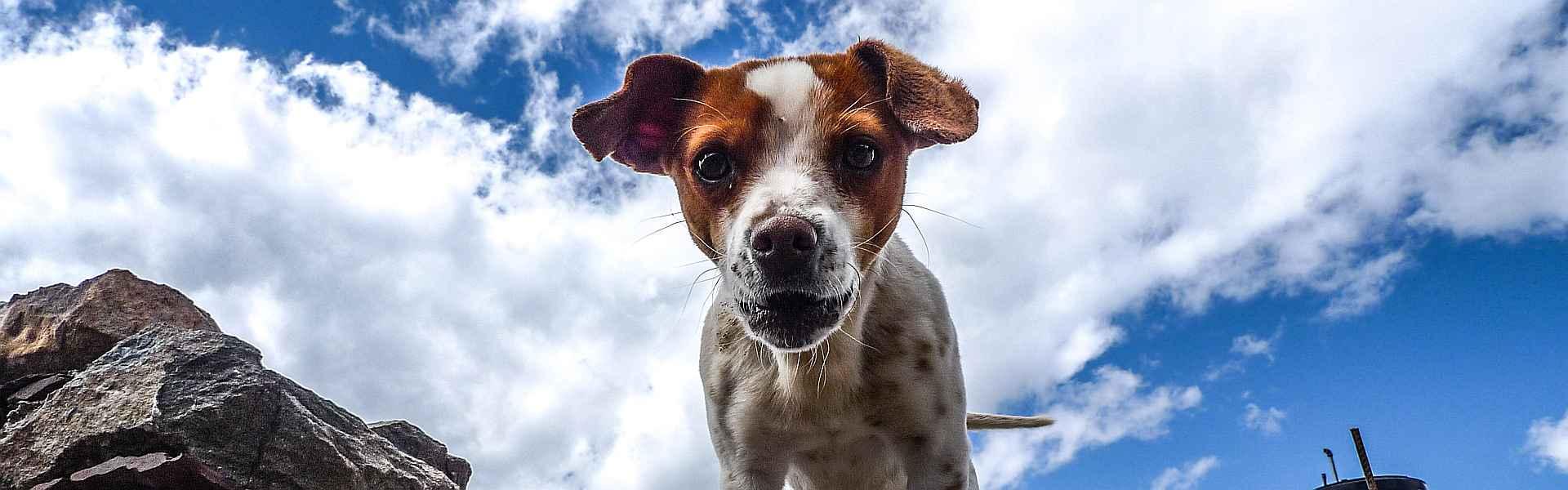 Zwart-wit-bruin hondje bij 'Het hondje uit mijn dromen' van Paul Schrijft via Snapwire